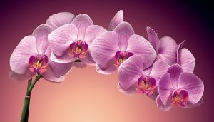 цікаві факти про орхідеї