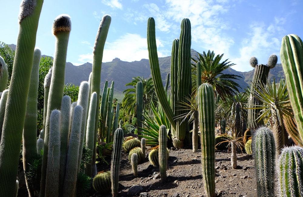 Цікаві факти про кактуси