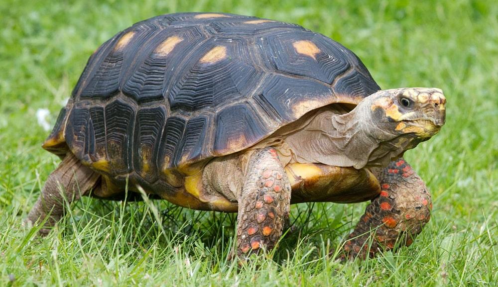 цікаві факти про черепахів