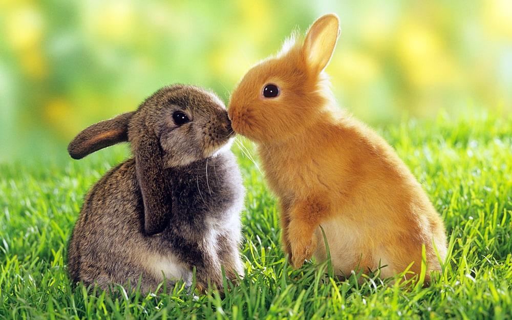 цікаві факти про зайців