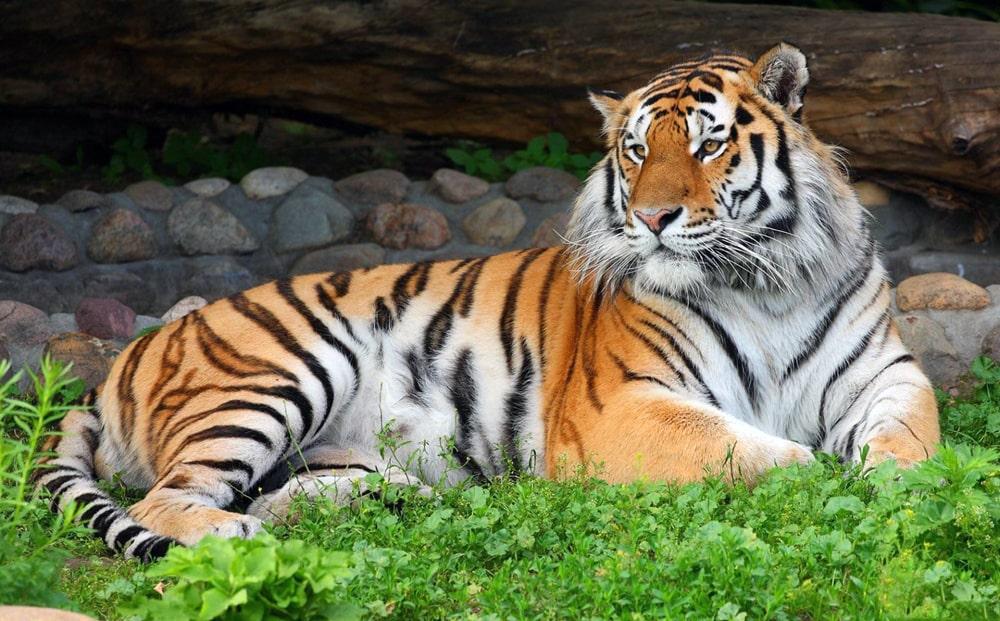 Цікаві факти про амурського тигра