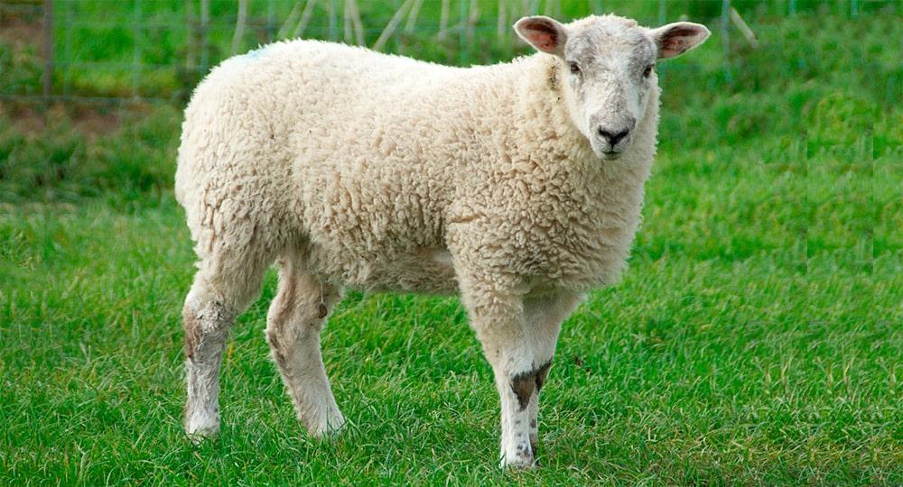 Цікаві факти про овець