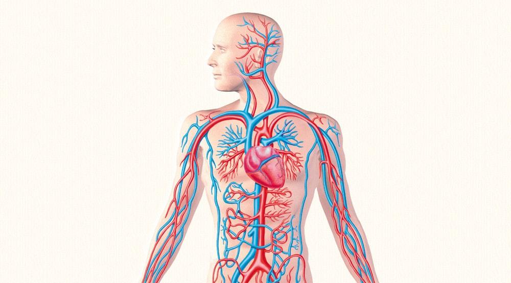 Цікаві факти про кровоносну систему