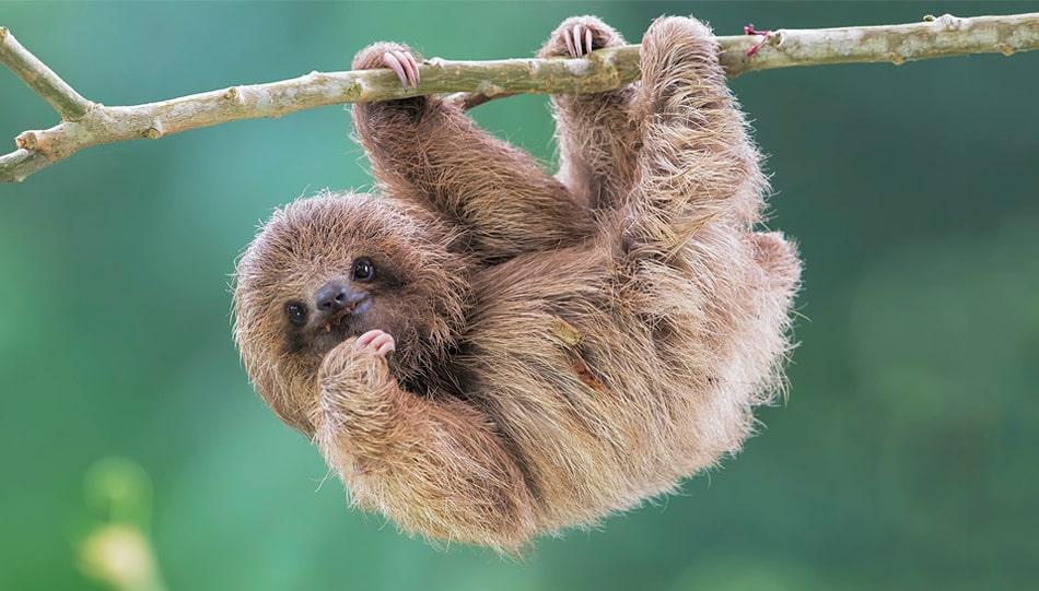Цікаві факти про лінивців
