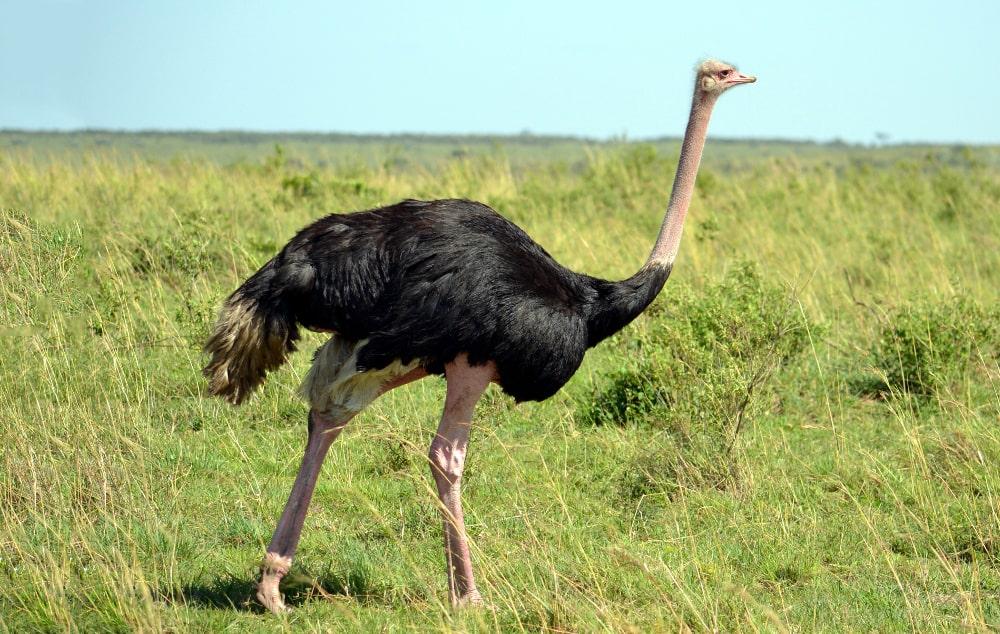 Цікаві факти про страусів