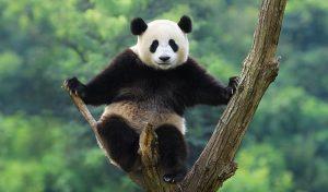 Цікаві факти про велику панду