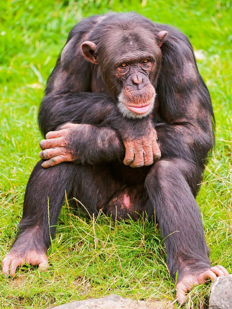 Цікаві факти про шимпанзе