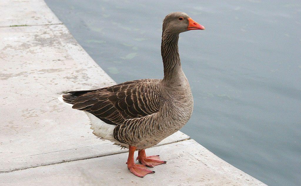 Цікаві факти про гусей