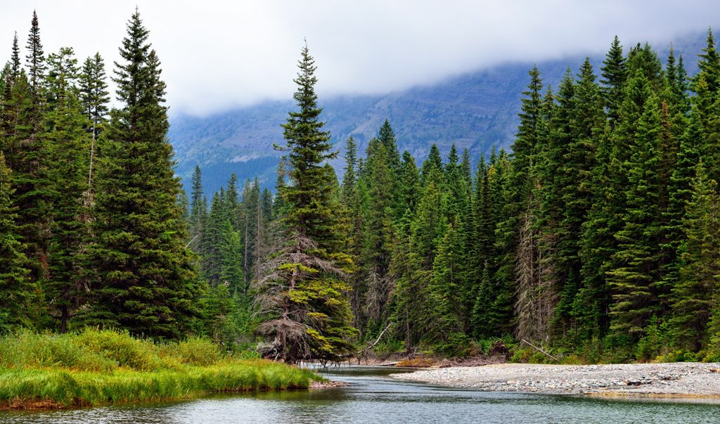 Цікаві факти про хвойні ліси