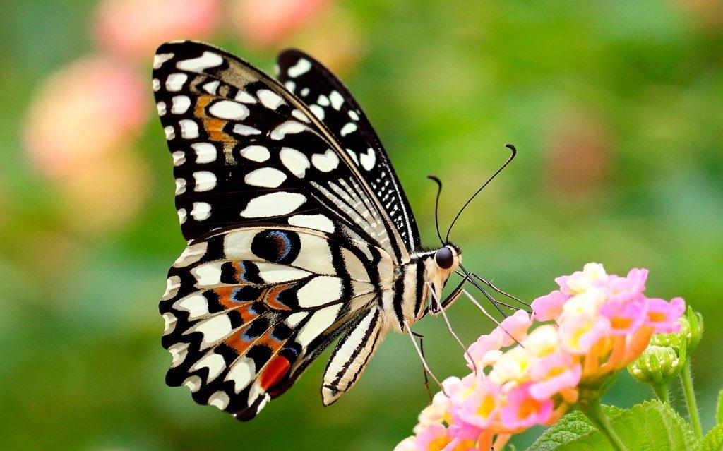 Цікаві факти про метеликів