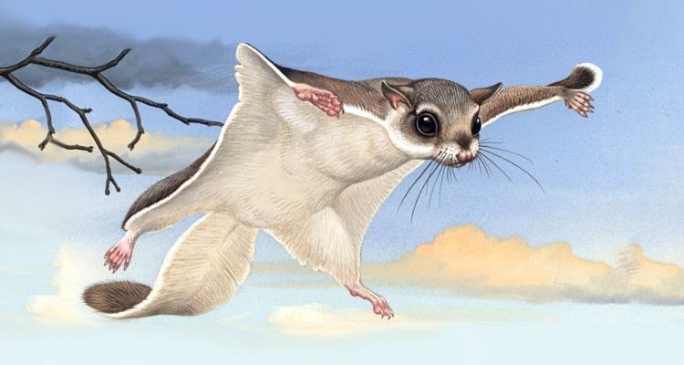 Цікаві факти про білку летягу