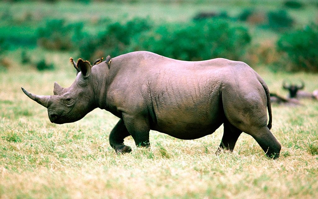 Цікаві факти про носорогів