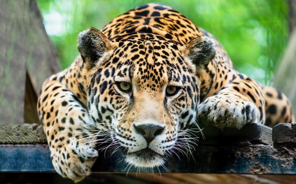 Цікаві факти про ягуарів