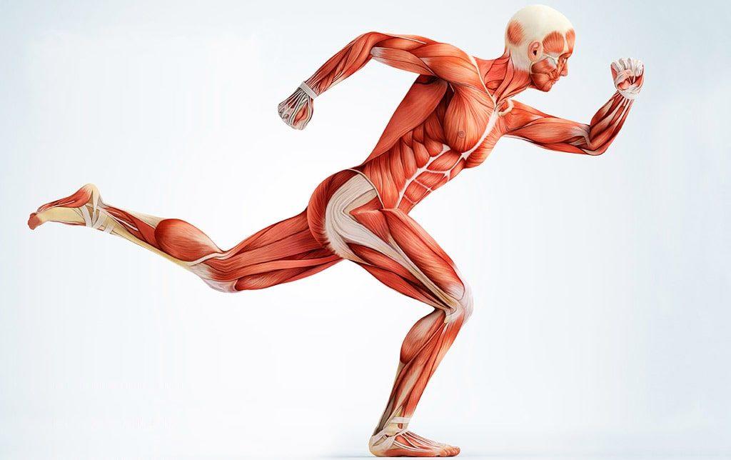 Цікаві факти про м'язи