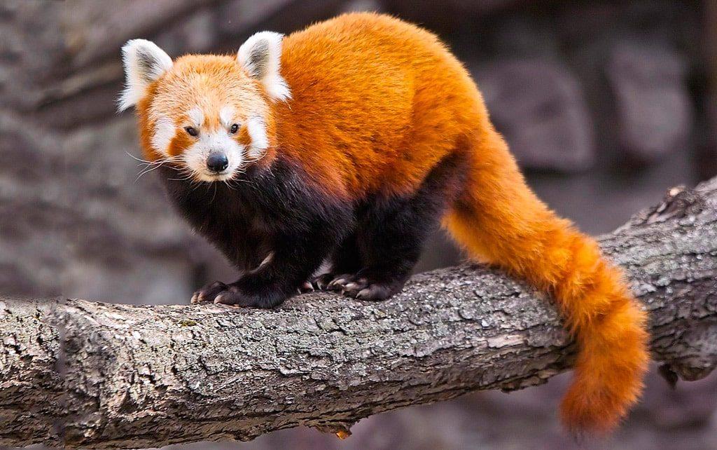 Цікаві факти про малу панду
