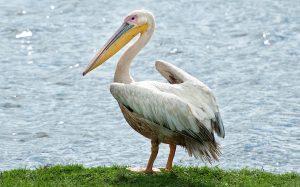 Цікаві факти про пеліканів