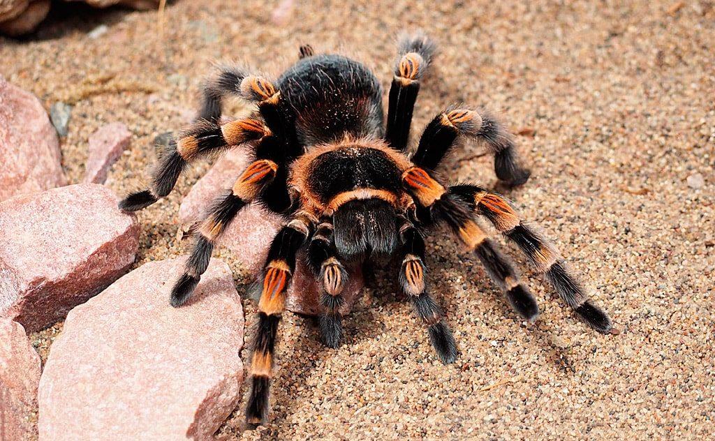 цікаві факти про тарантулів