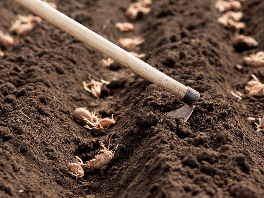коли садити картоплю 2020