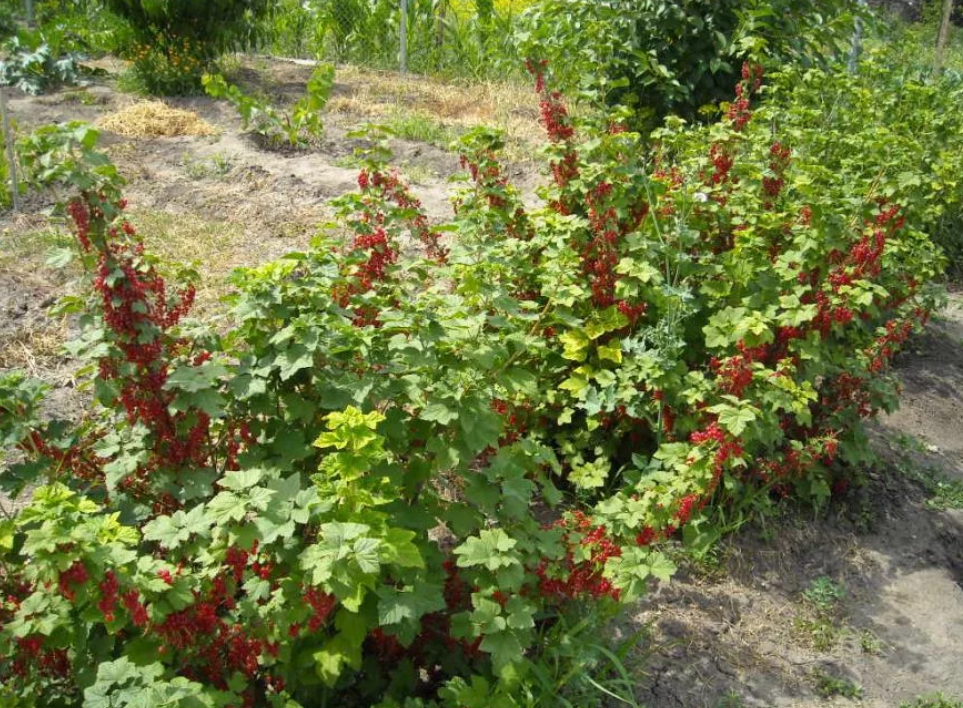 як садити смородину