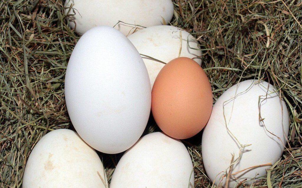 гусяче яйце корисні властивості