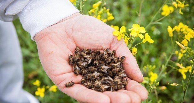 бджолиний підмор користь і шкода