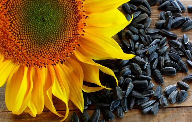 насіння соняшника корисні властивості
