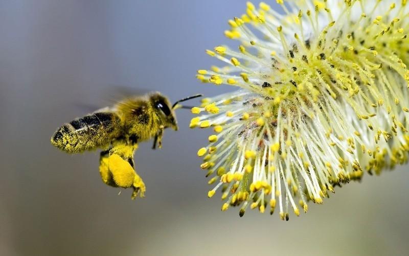 бджолиний пилок користь і шкода