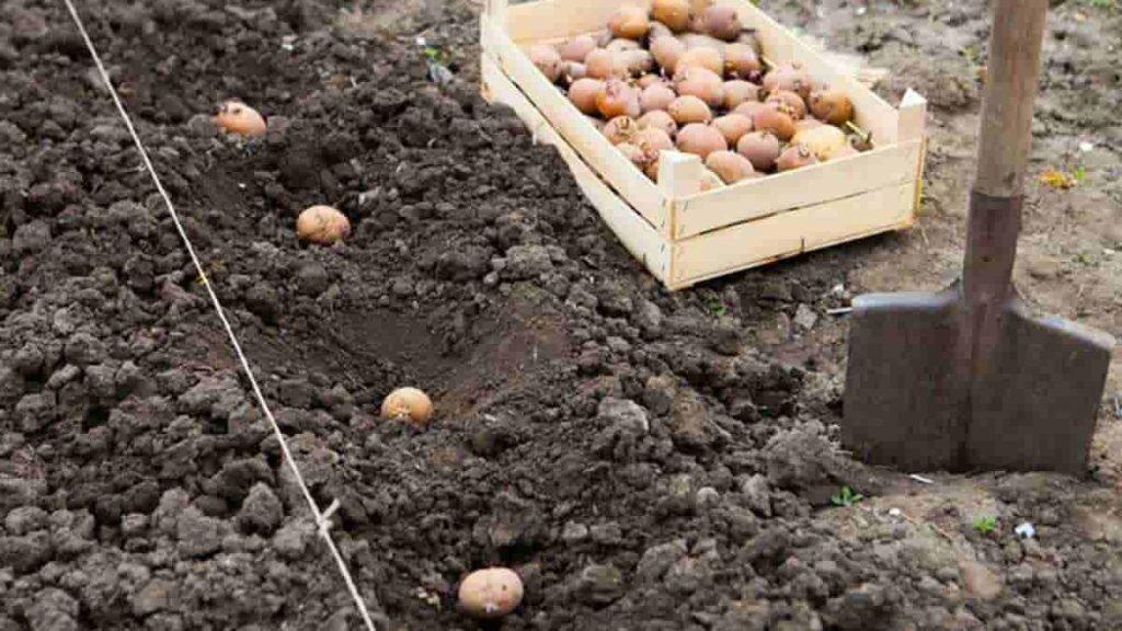 коли садити картоплю 2021