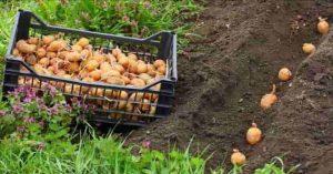 сприятливі дні для посадки картоплі 2021